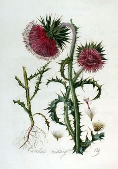 The Musk thistle or Nodding thistle (Carduus nutans) is a member of the sunflower family Asteraceae. It is a biennial herb with showy red-purple flowersand sharply spiny stems and leaves.  (via Flora Batava, Volume 2 (1807))