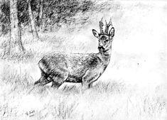 Geweihträger – Jagdmaler Thomas Bold Roe Deer, Wilderness, Tatoos, Moose Art, Drawings, Pictures, Paintings, Loom Animals, Pen And Wash