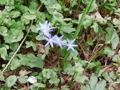 spring squill by Norbert Reiss