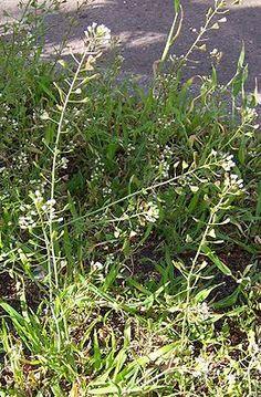 pásztortáska (Capsella bursa-pastoris) Humuszos, nitrogénben gazdag talajt jelez