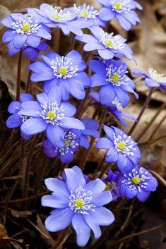 Flowers Gardens: Hepatica....... Might be my new favorite flower...!!!!