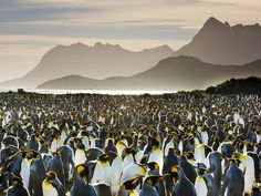 Picture of a king penguin colony on South Georgia Island