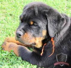 Rottweiler puppy - Nacho; cute name!