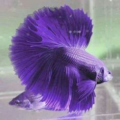 Purple fish, had to tag this one my mother has one in her living room and they are such beautiful fish, such vibrant colors