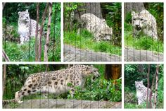 Snow Leopard at the Central Park Zoo in New York City #NewYork