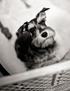 Toby by Shelley Paulson #Miniature #Schnauzer