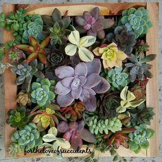 Living frame by Doris San-Estabol Carino. Succulent Frame, Succulents Garden, Cactus, Frames, San, Nature, Succulents, Plants, Frame