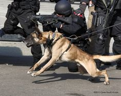 K-9 Aries, a Belgian Malinois, of the San Francisco CC PD at SKIDDS (specialized training for SWAT and K-9s).  It is important for K-9 teams and SWAT teams to train together intensively so that they can work effectively and safely during deployments.