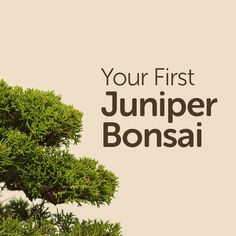 Your First Juniper Bonsai
