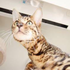 Giraffes have a long neck.  #cat #catsofinstagram #cats #catstagram #instacat #catlover #catoftheday #bengal #bengalcat #oz #ねこ #猫 #ねこ部 #ねこすたぐらむ #猫部