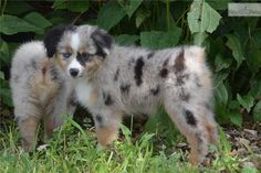 Meet Pansy a cute Miniature Australian Shepherd puppy for sale for $850. Pansy