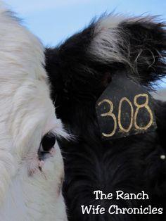 Black Baldy Cow