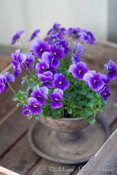 Blomsterverkstad: in pots Beautiful Rose Flowers, Beautiful Flower Arrangements, Purple Flowers Wallpaper, Sweet Violets, Pansies, Garden Inspiration, Container Gardening, Flower Art, Planting Flowers