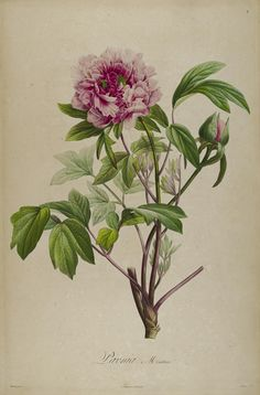 Paeonia moutan ~ by Aimé Bonpland It isn't enough to even think about placing this beautiful sprig of flowers in an old fashioned glass. Let's us pick a few more and place the bouquet inside a vase of just perhaps your grandmother's Waterford. Hahaha!