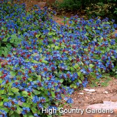 Ceratostigma plumbaginoides - Blue Plumbago, perennial, sun or part sun, grows to 8inches tall spreading 1ft or more, leaves turn maroon in cold weather & dies to ground with a hard freeze but comes back vigorously in spring, not invasive-good groundcover-info fr neill sperrys garden book
