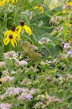 Bergamot (Monarda fistulosa) : Prairie Nursery : Native Plants