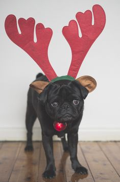 On the blog today we are sharing 3 tips for taking Christmas photos of your pug. Head on over, read the tips, take some photos and share them with us. http://www.thepugdiary.com/3-tips-for-taking-christmas-photos/