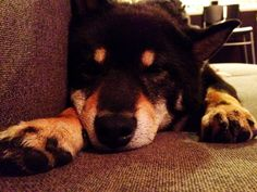Jack the #Shiba dog