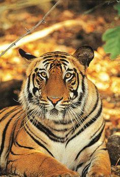 Indien - Von Rangern geschützt, streunen derzeit mehr als 50 Königstiger durch den Ranthambhore-Nationalpark.