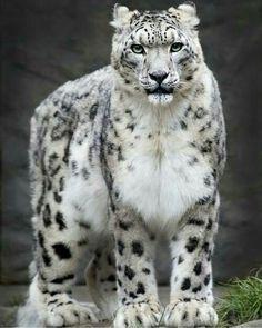 benim canim canim bubne guzellik yaa... deli gibi sarilip sevesi geliyor insanin... heralde bunu severken kalbim yerinden firlayıverir  Credit to @wildlifeaddicts_ : Leopard | Photography By Denise Soden  #wildlifeplanet