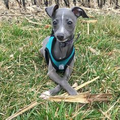 What a sweet girl Dog Pictures, Animal Pictures, Doggies, Dogs And Puppies, Crazy Dog Lady, Grey Hound Dog, Whippets, Italian Greyhound, Puppys