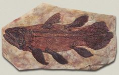 Very cool..The coelacanth was believed to be extinct until one day in 1938 one was found in the catch of a fishing trawler by a museum curator. This makes it a Lazarus taxon, a species that has 'risen from the dead,' thought to be extinct only to be discovered alive. The oldest fossil is 360 million years old, and it seems the fish has hardly changed since then. Many thought they went extinct 80 million years.
