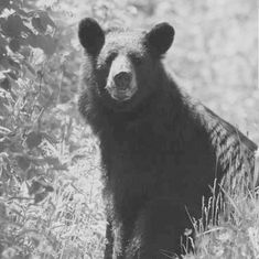 This powerful creature is a great teacher & guide for those wanting to (em)brace the qualities of the bear. A wise and strong Totem. Call on the Bear in meditation & ask for its presence to be felt, or buy a toy bear & sleep with it to (in)itiate connection in the dreamstate Animal Totems, Bear Toy, Black Bear, Connection, Meditation, Creatures, Felt, Teacher, Sleep