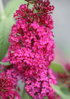 Butterfly Bush-'Miss Molly'.  Fragrant flowers are a rich Sangria-red color. Red color may be more pronounced in the South. This compact plant is smaller than many other buddleia varieties, and its distinctive flower color makes late summer gardens pop!