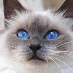 Birman Cat - http://catbreedsinformation.com/birman-cat/ The Birman Cat, originally from France, is a medium sized, long coated cat breed that has become quite popular among cat fans around the world.Some people may refer to this cat breed as a Sacred Birman because some cats are known by different names.The Birman Cats are said to have quite the personality. Their owners have said that they are often gentle and kind.Their personality and demeanor is what makes most owners