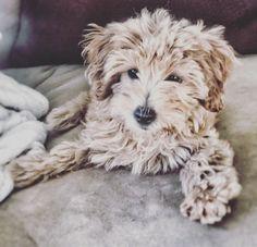 My sweet maltipoo puppy, Nya.