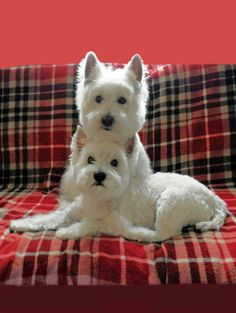 Westies are the best dogs and two is definately better than one Westies, Love Pet, I Love Dogs, Red Plaid, Tartan, Dog Pictures, Cute Pictures, West Highland White Terrier, Dog Rules