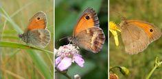 V.l.n.r. hooibeestje, oranje zandoogje en bruin zandoogje (foto's: Kars Veling)