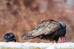 #vultures #turkeyvultures #crows