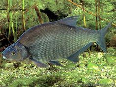Abramis brama : la brème, un poisson commun dans les cours d'eau européen.