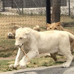 The battle of the stick with Gorakh and Sonny! These boys have so much fun chasing each other around and stealing the stick from each other :) #blackjaguarwhitetiger #itsallforlove #thebluepridebjwt #savelions #DonateToday @blackjaguarwhitetiger