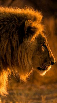 "beautiful-wildlife: "" Golden Lion by Christopher Spiteri "" Lion Pictures, Animal Pictures, Beautiful Cats, Animals Beautiful, Animals And Pets, Cute Animals, Strange Animals, Wild Animals, Golden Lions"