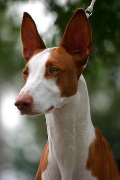 Beautiful Ibizan Hound dog ~ Everything Best Dogs Most Beautiful Dogs, Animals Beautiful, Cute Animals, Beautiful Gorgeous, I Love Dogs, Cute Dogs, Magyar Agar, Hound Dog Breeds, Ibizan Hound