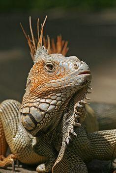 Grüner Leguan (Iguana iguana) http://fc-foto.de/17281802