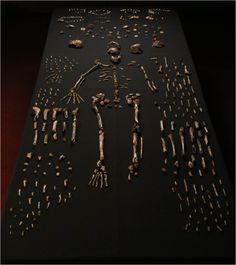 "[09/10/15] Homo Naledi, a new species linked within the evolution of mankind, was found in a South African cave. The word naledi means ""star"" in the Sotho language. Learn more about the other species that make up human's lineage on our library's website here http://sherloc.imcpl.org/?itemid=
