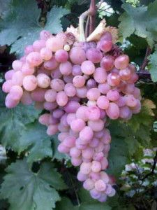 Русский ранний Beautiful Fruits, Red Grapes, Exotic Fruit, Farm Gardens, Fruit Trees, Fruits And Vegetables, Raisin, Food Art, Garden Tools