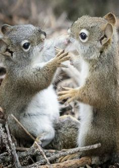 Thumb wrestling - all baby squirrels do this.