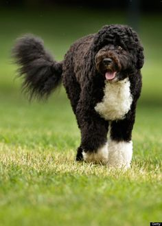 Bo Obama  The Obama family dog, a Portuguese water dog named Bo, trots across the South Lawn Aug. 2, 2010.