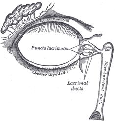 The lacrimal apparatus. Right side. (Lacrimal sac visible at upper right.)
