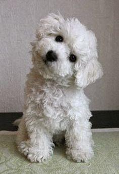 Contact me on 09 Caniche Bichon White Puppy / 09 01 Ref. Cute Puppies, Cute Dogs, Dogs And Puppies, Doggies, Poodle Puppies, Havanese Puppies, Cockapoo, Samoyed Dogs, Animals And Pets