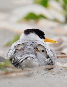 This is the adorable moment two cute baby birds nestle under their mother's wings. Photographer Melissa Groo, who captured the images in New Jersey, said the Least Terns were sheltering from … Pretty Birds, Beautiful Birds, Animals Beautiful, Nature Animals, Animals And Pets, Cute Baby Animals, Funny Animals, Tier Fotos, Fauna