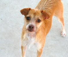 Redmond  Wirehaired Terrier Mix • Young • Male • Medium  Guadalupe County Humane Society Seguin, TX