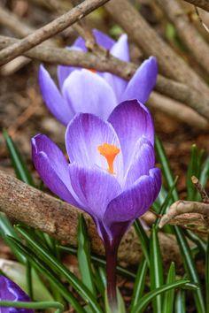 Purple Crocuses      Photo by Clemens Federowicz