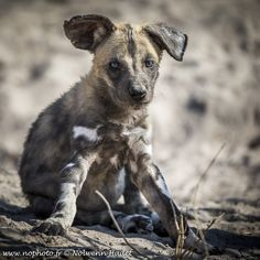While we approach a den of wild dog, every puppies just went back to the den, except that one, more curious than afraid.