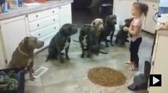 4 year old girl commanding Pit Bulls. So cute.