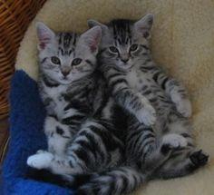 British Short-Hair Kittens